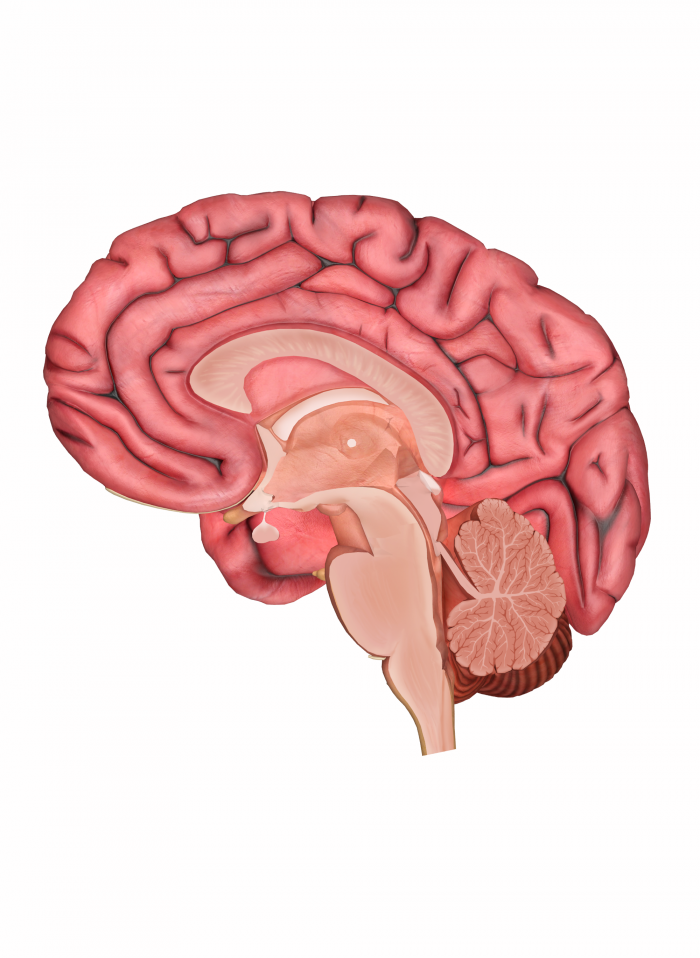 Diagram Of The Brain