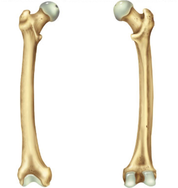 Femur Bone Anterior And Posterior View