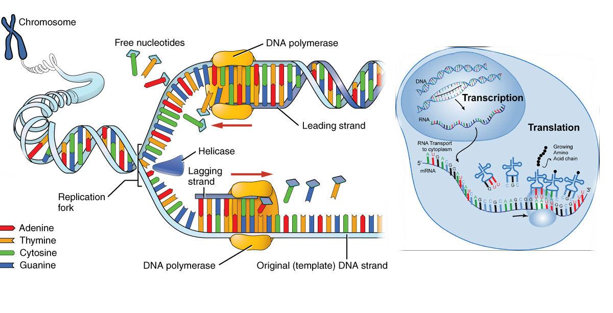 The Central Dogma Of Biology Elizabeth M