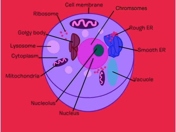 City a animal cell diagram application wiring diagram animal cell analogy diagram city themed thinglink rh thinglink com animal cell town cell city project ccuart Images