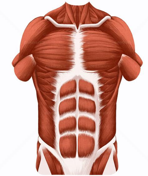 Musculo oblicuo, transverso del abdomen, trapecio, escale... - ThingLink