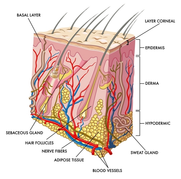 Integumentary System: The organ system that protects the ... - ThingLink