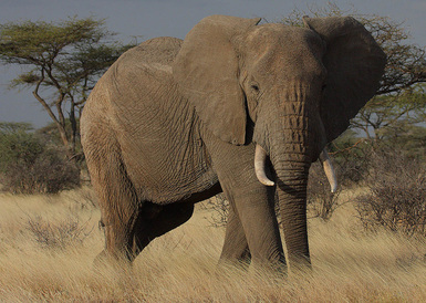 Elephant Adaptations - ThingLink