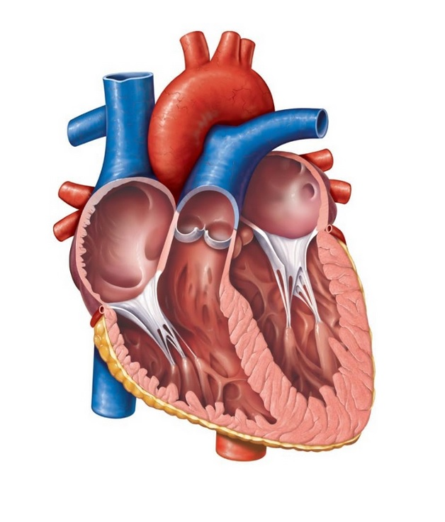 The Human Heart Diagram Thinglink
