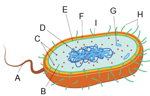nQt6GXfNXQ9cMht7MLLPfDBn flagella , ribosomes , capsule , cell wall, cytoplasm, nu