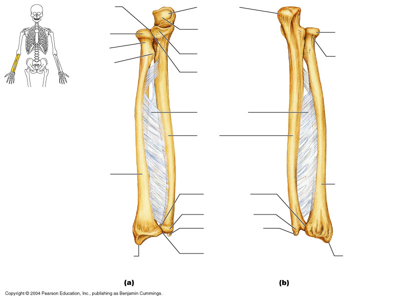 Upper Limbs; Ulna and Radius - ThingLink