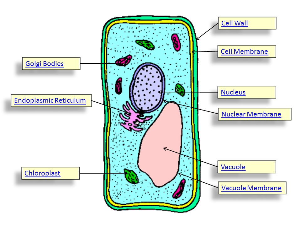 Plant cell lysosome located dinocrofo do plant cells have lysosomes referencecom ccuart Images