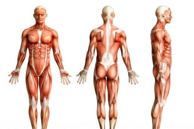 Músculos del cuerpo humano - ThingLink