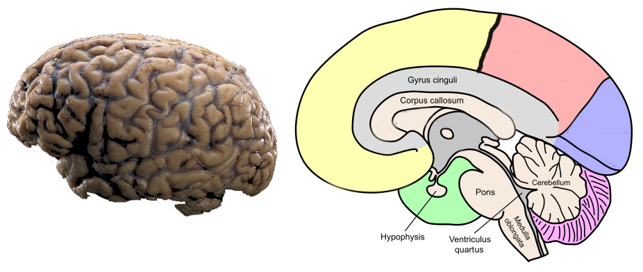 Parts of the Brain Explained - An Interactive Image   The ...