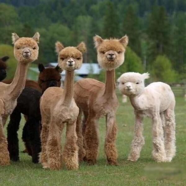So... these are really really scary llamas and you SHOULD...