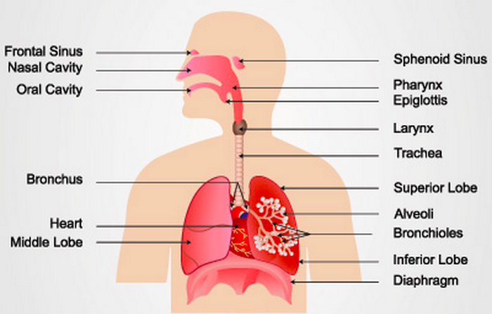 Respiratory System Selin