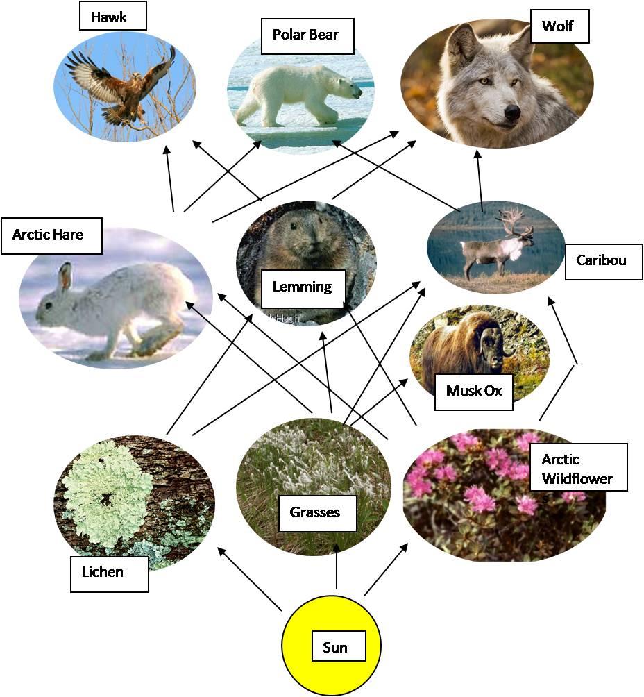2wd9QHhDm5miphMrYYXTdhJ8 a polar bear food chain with a diagram january pbinews state of the