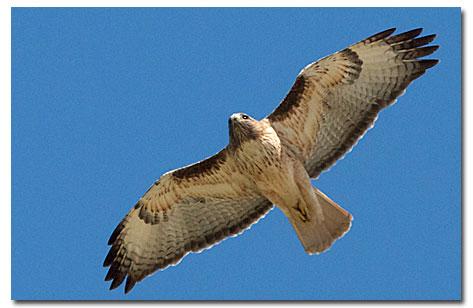 """Desert Hawk Animal """"The Desert""""..."""