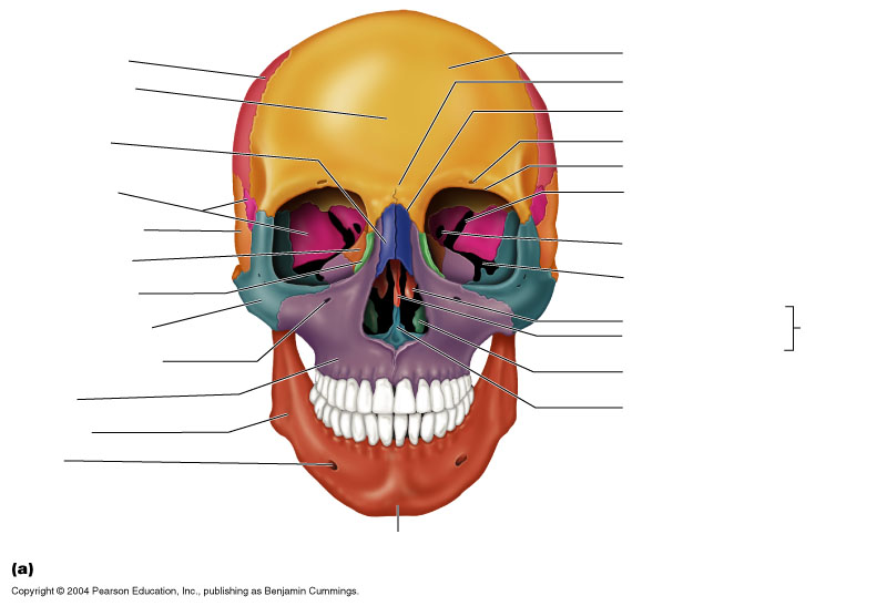 Axial Skeleton Skull Front View Thinglink