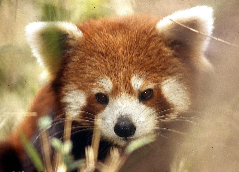 Image of: Endangered Animals In Hull East Yorkshire Red Panda Endangered Species