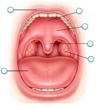 Upper lip, Tongue, Palatine tonsil, Uvula, Soft palate, H...