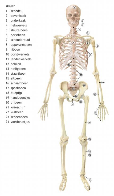Betere Uw skelet geeft steun aan uw lichaam en biedt bescherming... GM-07