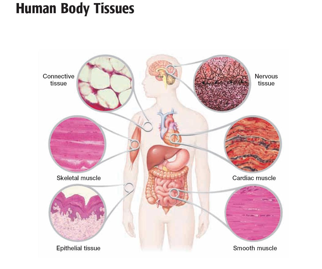 body tissue diagram wiring schematic data Human Body Whole human tissue diagram simple wiring diagram human tissue and an system diagram body tissue diagram