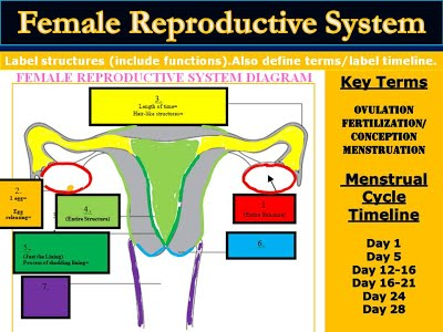 Female ovary organs holding a womens eggs ovary rele thinglink ccuart Images