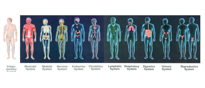 11 body systems - thinglink, Human Body