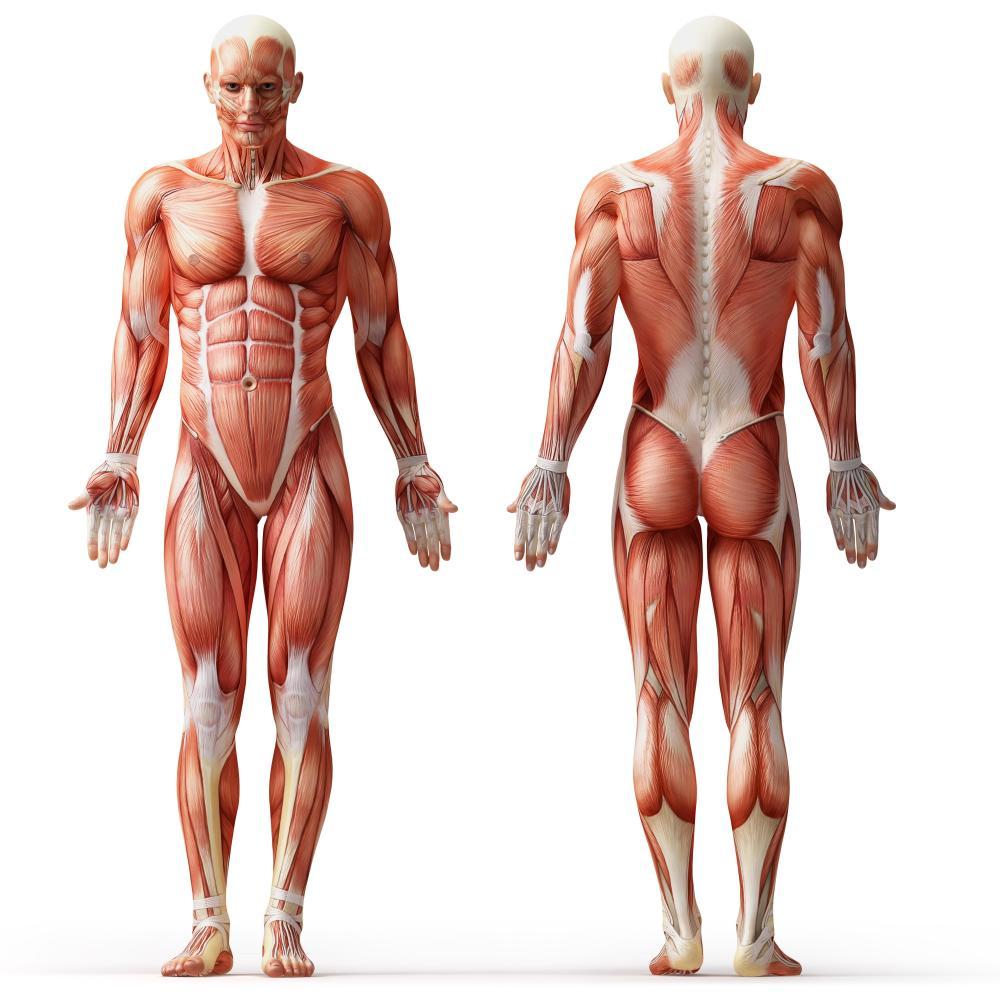 Pectorals Trapezius External Obliques Quadraceps Abdo