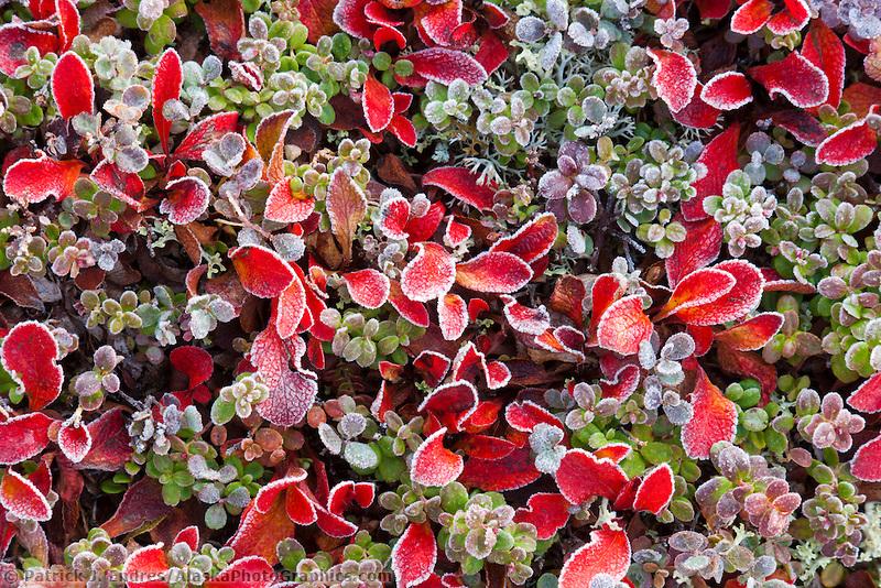 Tundra Plants Bearberry