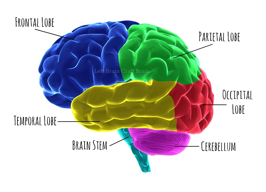 Parts of the brain and its functions - ThingLink