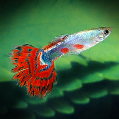 Male guppies live in fish tanks across the world  These f