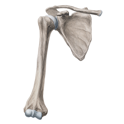 Clavicle, Scapula, Acromion, Coracoid process, Glenoid ca... - ThingLink