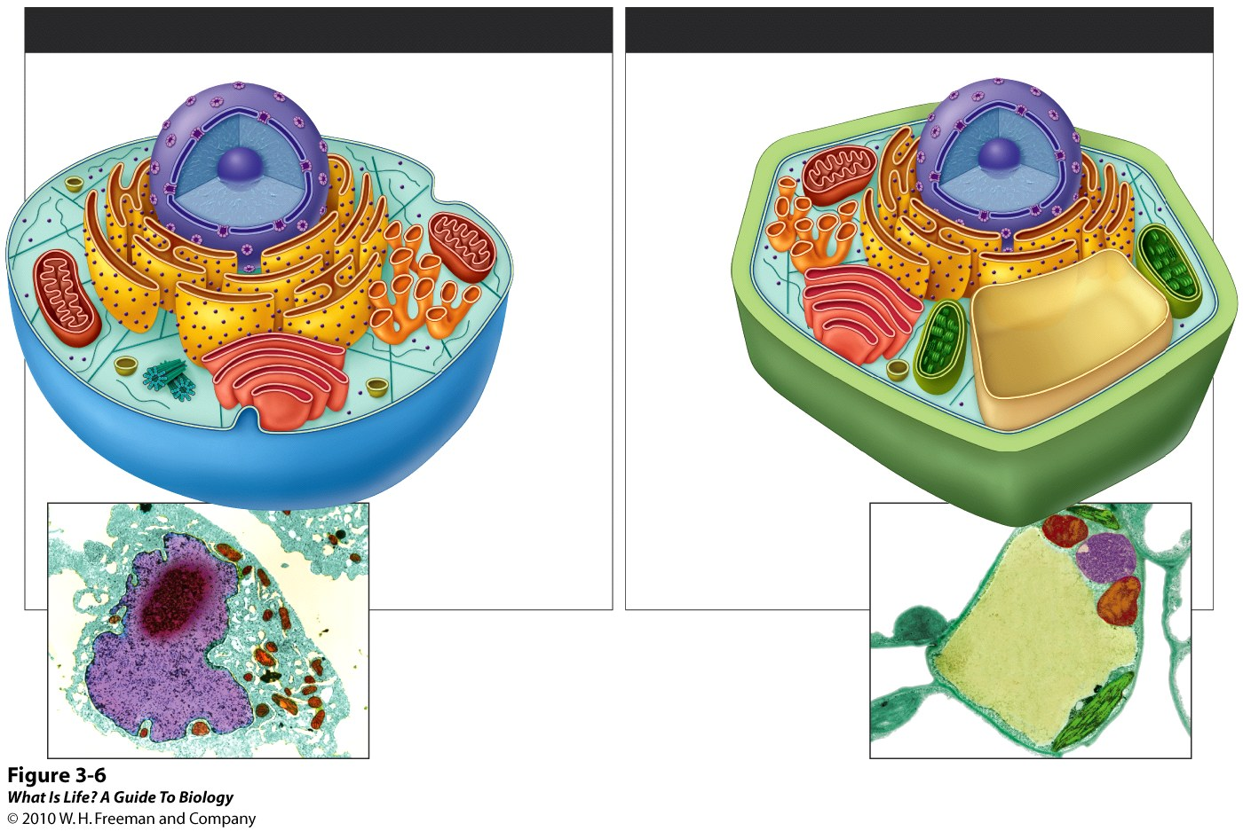 eukaryotic cell unlabeled - photo #8