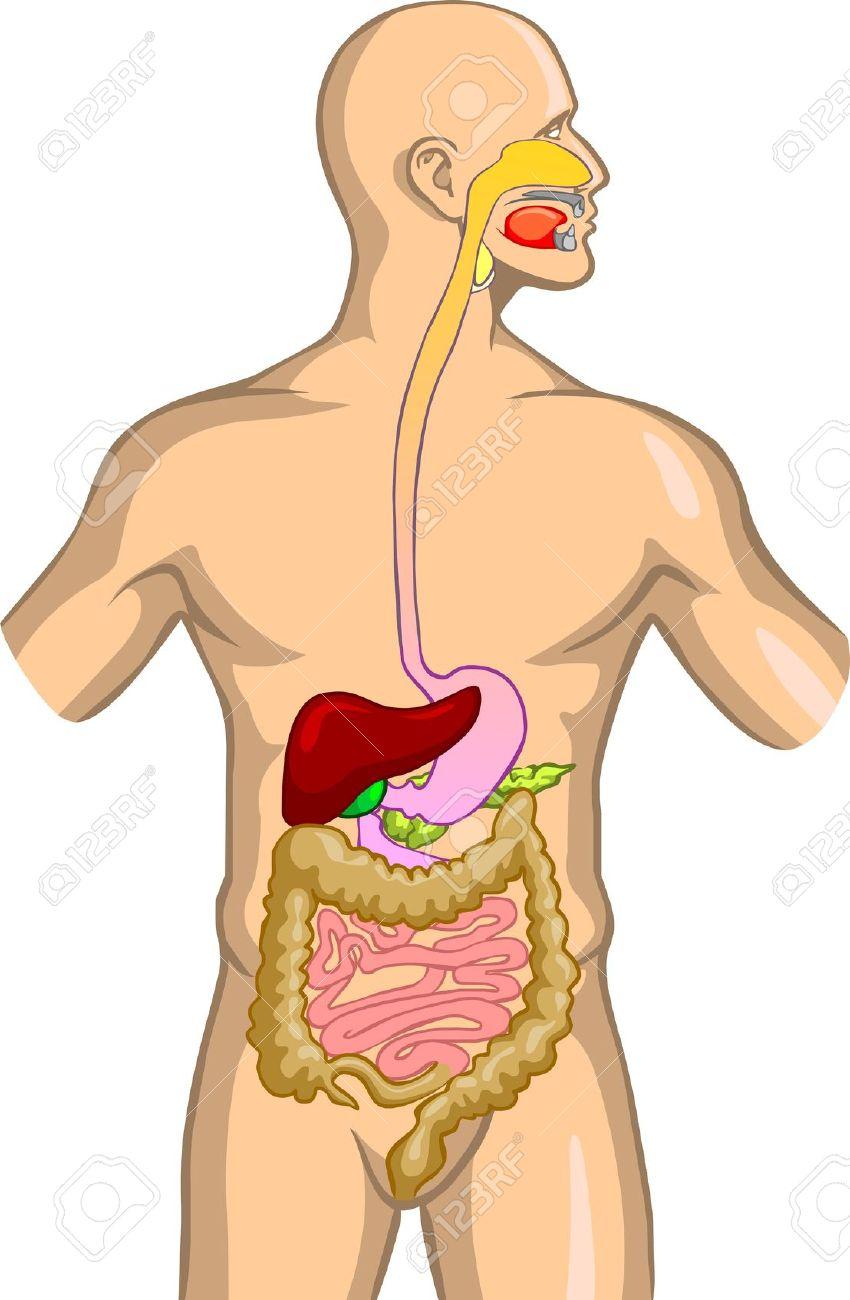 Anatomía y Fisiología del Intestino Grueso Descripción de...
