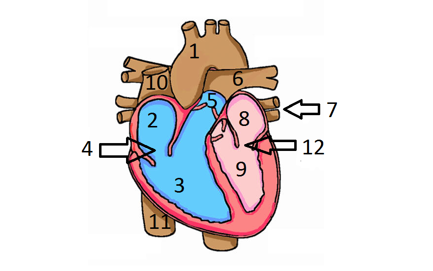 Fine heart diagram without labels sketch anatomy and physiology heart diagram thinglink ccuart Images