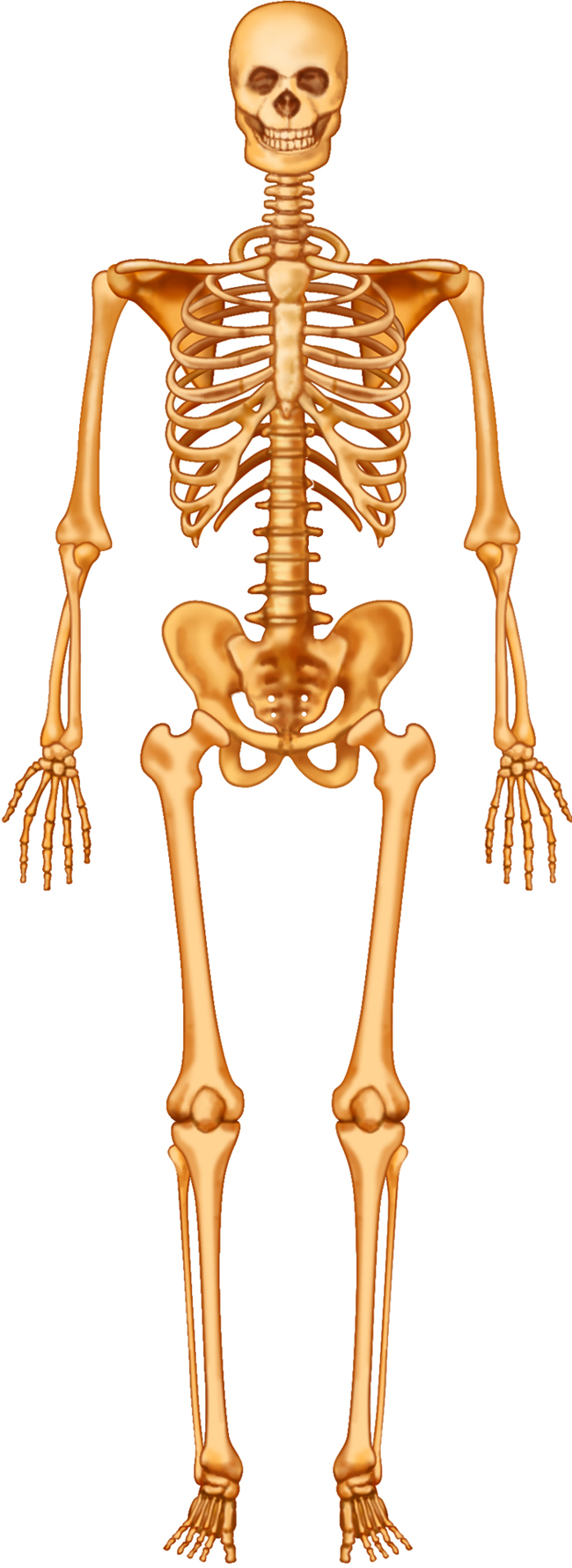 Outstanding Labeling Human Skeleton Gallery - Human Anatomy Images ...