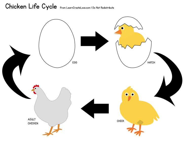 life cycle of a chicken leon eric