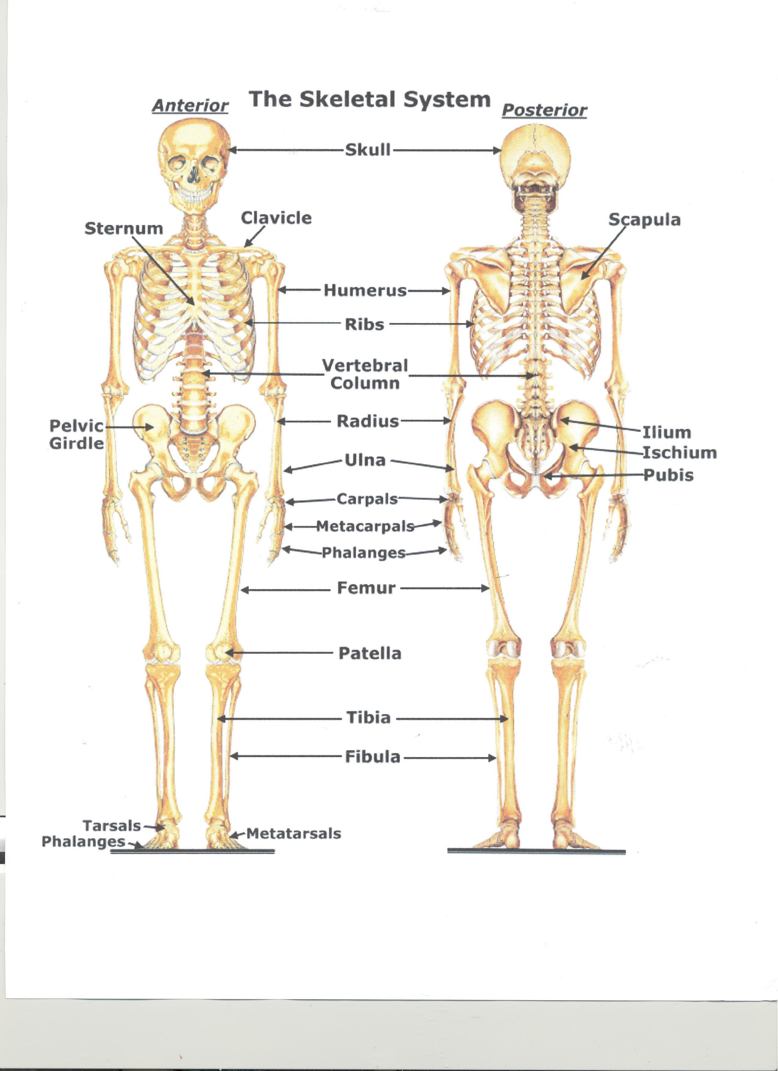Skeletal System - ThingLink