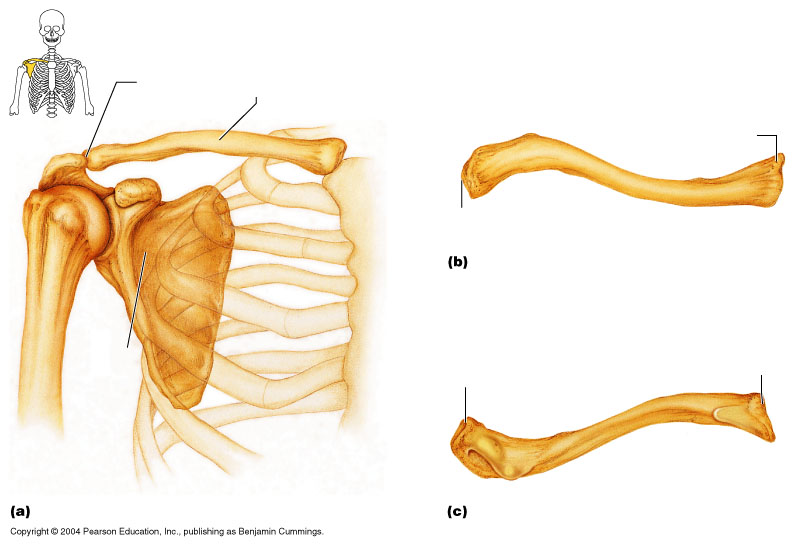 blank diagram clavicle wiring database libraryclavicle, scapula sternum diagram blank blank diagram clavicle