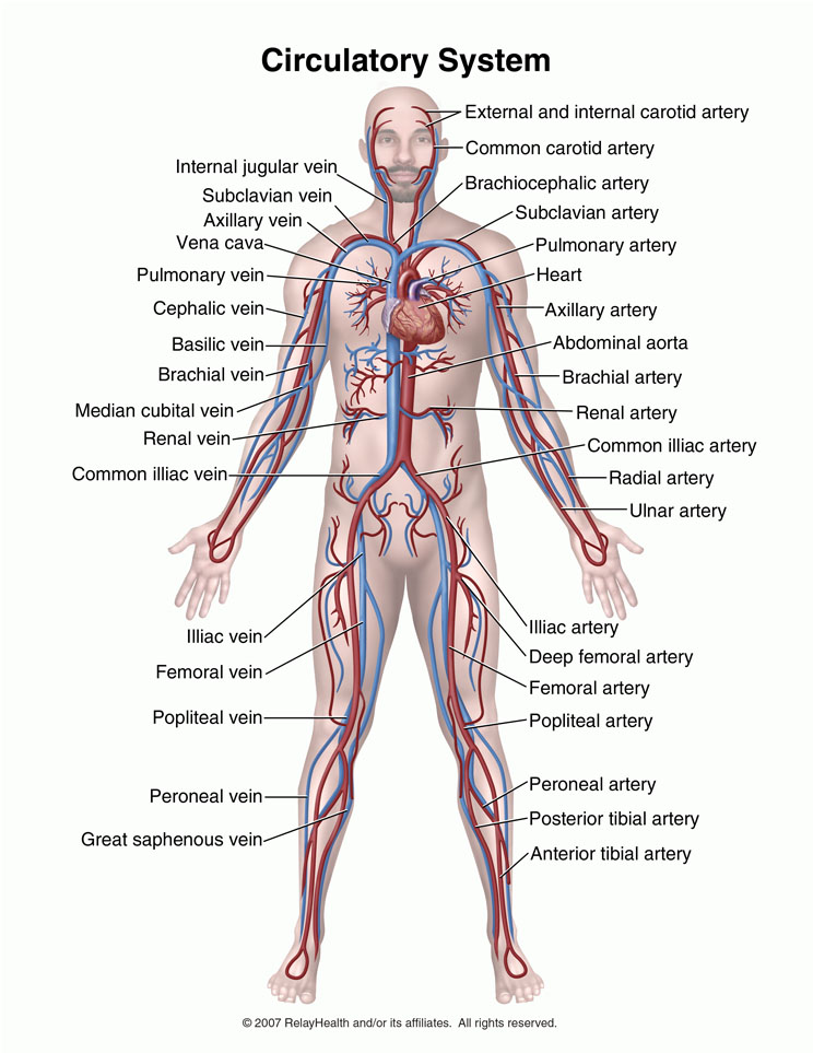 The Heart Is The Organ That Helps Supply Blood And Oxygen
