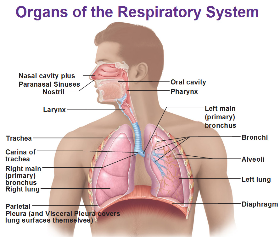 Nasal Cavity Helps You Inhale Oxygen And Exhale Carbondi