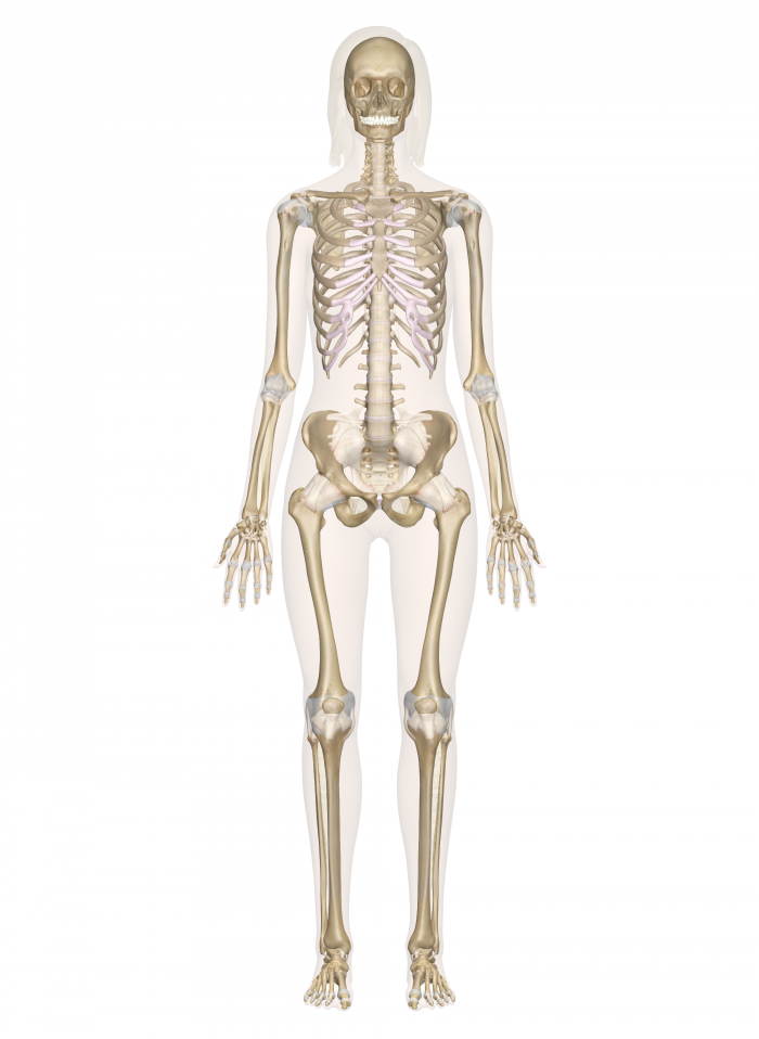 4 Primary Jobsprotection Bones Protect Vital Organs Suc