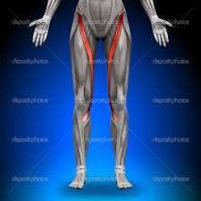 I muscoli del corpo umano for Muscolo interno coscia nome