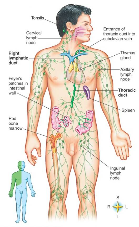 Lymphatic System Hunter Manz