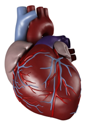 investigating the human heart - thinglink, Muscles