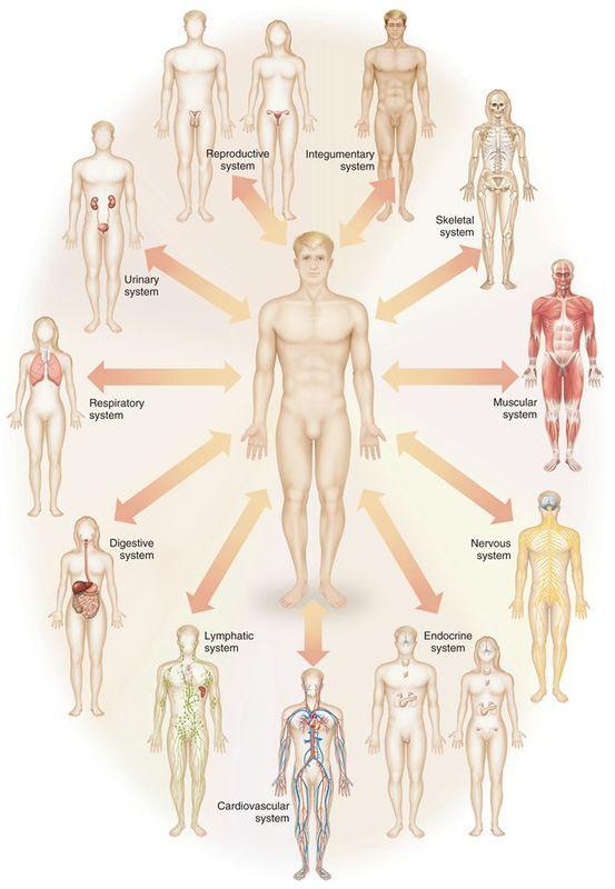 Skeletal System: Main Organs- bones, cartilage, joints Ma...