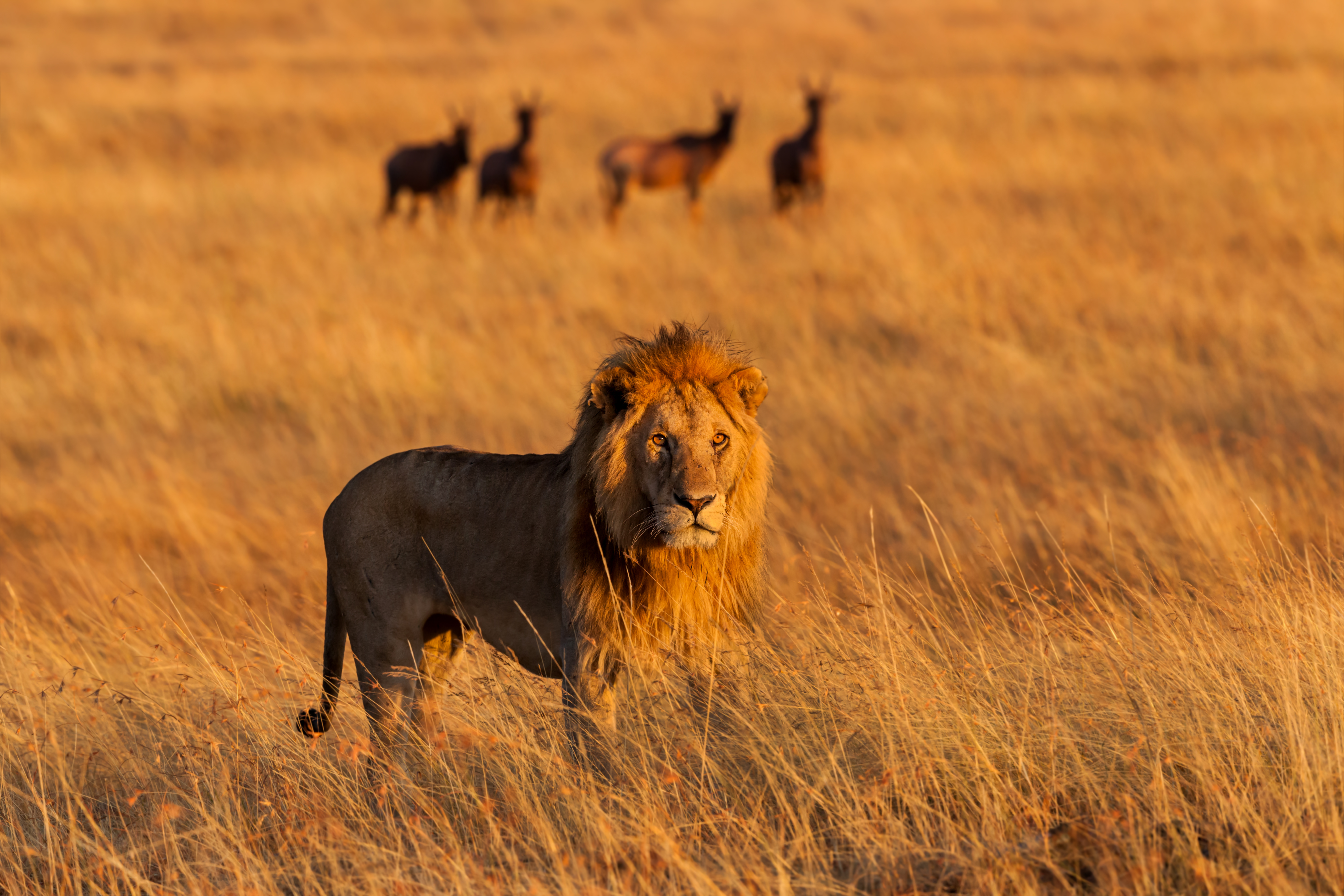 Lion The King In The Savannah Of Africa Stock Photo, Picture And ...
