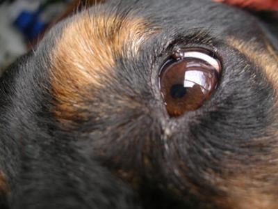 Can You Use Polysporin On Dogs Eyes