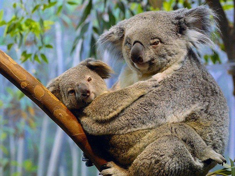 Koala Bear  ThingLink