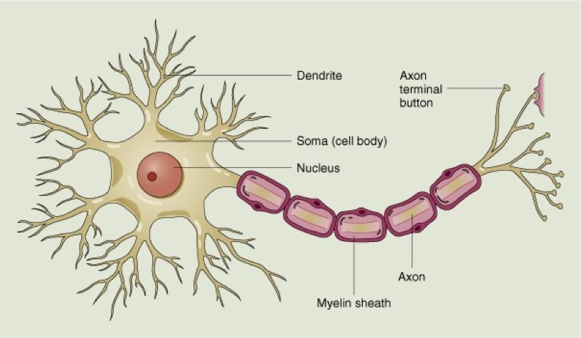 Neuron Diagram And Definitions Thinglink
