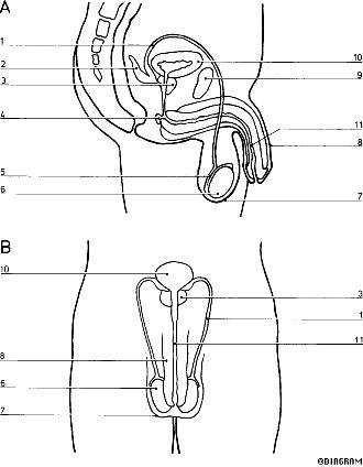 Diagram Male Reproductive System Label on wiring diagram app for mac
