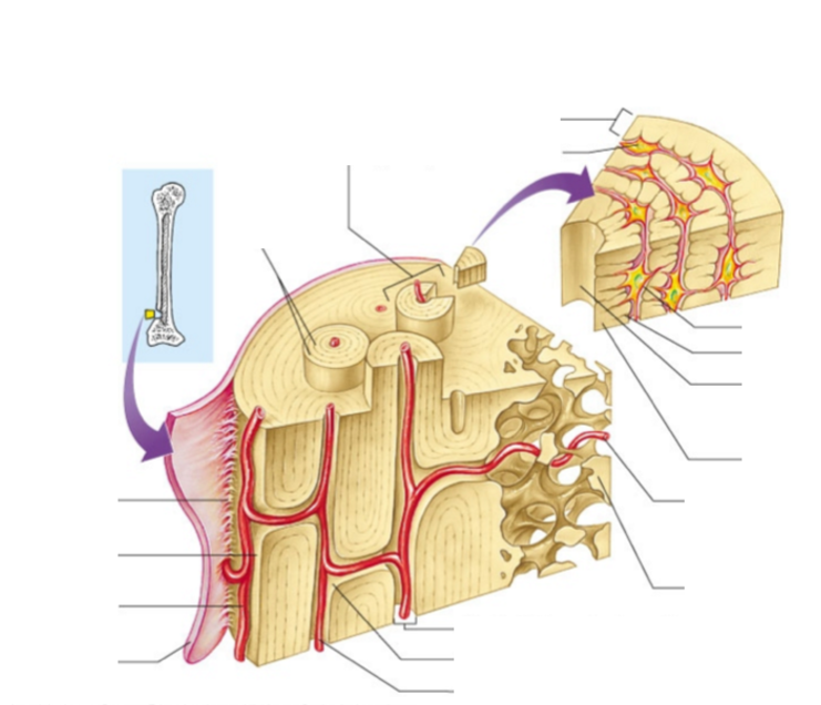Sharpeys Fibers Compact Bone Blood Vessel Periosteum