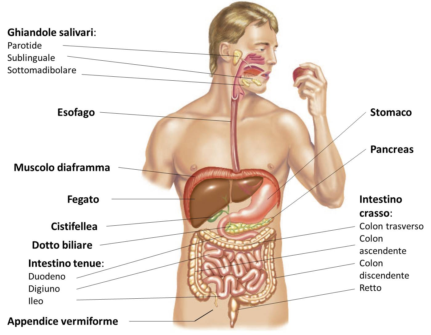 corpo umano con organi